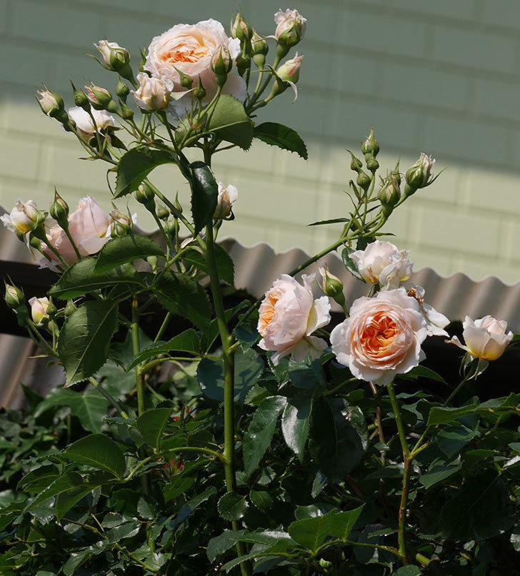 ジンジャー・シラバブ(ツルバラ)の花が満開になった。2019年-9.jpg