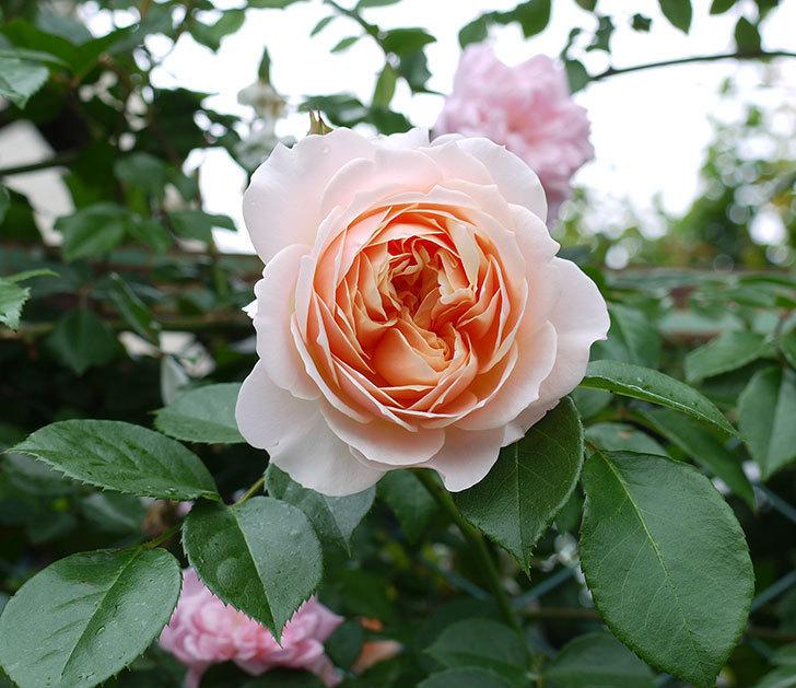 ジンジャー・シラバブ(ツルバラ)の花が綺麗に咲いた。2017年-1.jpg