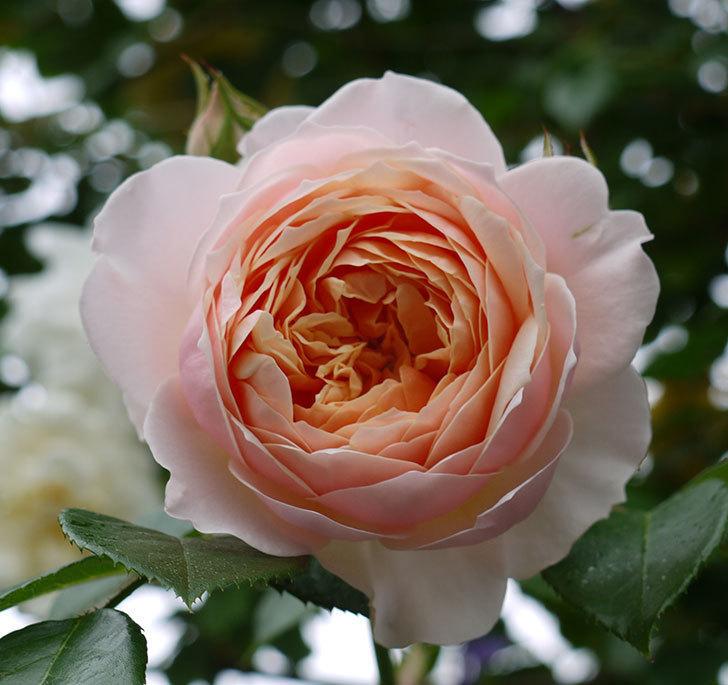 ジンジャー・シラバブ(ツルバラ)の花が綺麗に咲いた。2017年-10.jpg