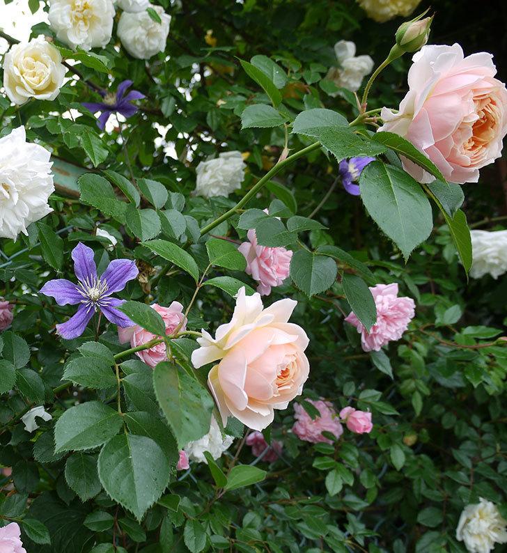 ジンジャー・シラバブ(ツルバラ)の花が綺麗に咲いた。2017年-11.jpg