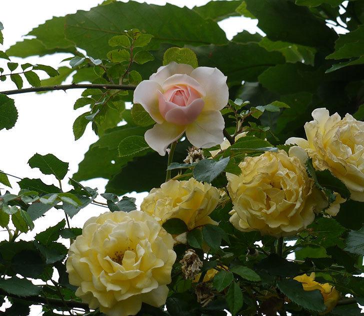 ジンジャー・シラバブ(ツルバラ)の花が綺麗に咲いた。2017年-12.jpg