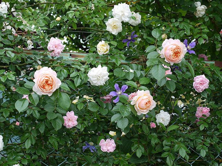 ジンジャー・シラバブ(ツルバラ)の花が綺麗に咲いた。2017年-13.jpg