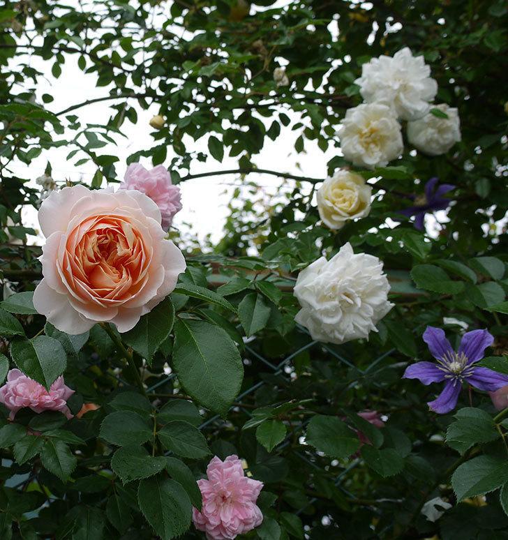 ジンジャー・シラバブ(ツルバラ)の花が綺麗に咲いた。2017年-2.jpg