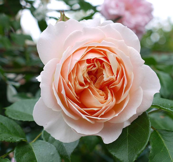 ジンジャー・シラバブ(ツルバラ)の花が綺麗に咲いた。2017年-3.jpg