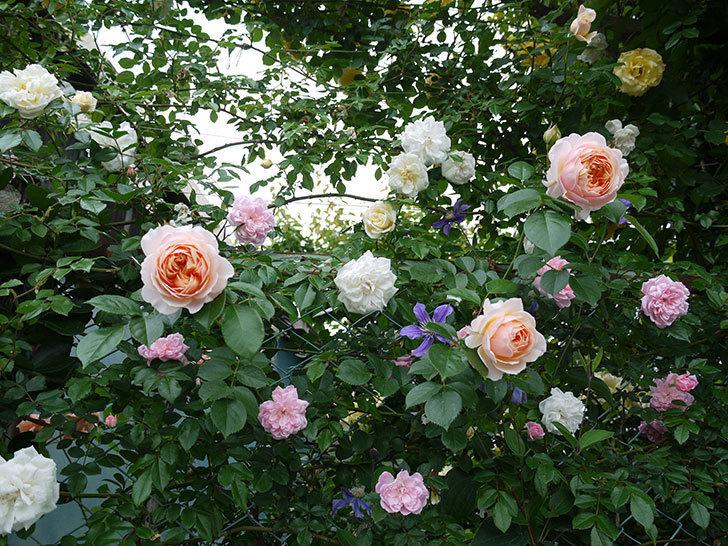 ジンジャー・シラバブ(ツルバラ)の花が綺麗に咲いた。2017年-4.jpg