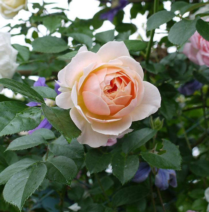 ジンジャー・シラバブ(ツルバラ)の花が綺麗に咲いた。2017年-5.jpg