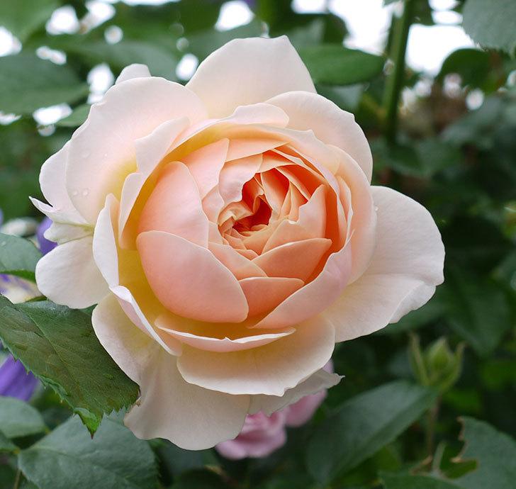 ジンジャー・シラバブ(ツルバラ)の花が綺麗に咲いた。2017年-6.jpg