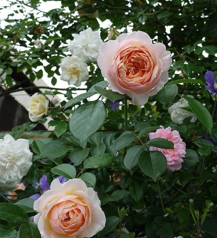 ジンジャー・シラバブ(ツルバラ)の花が綺麗に咲いた。2017年-7.jpg