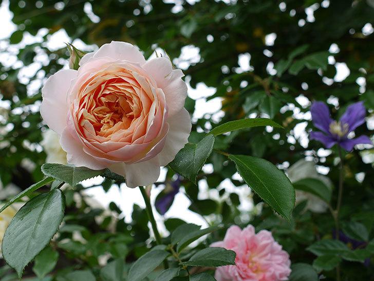 ジンジャー・シラバブ(ツルバラ)の花が綺麗に咲いた。2017年-9.jpg