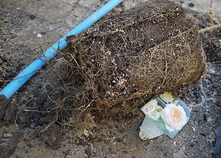 ジンジャー・シラバブ(ツルバラ)の鉢植えを地植えして誘引した。2017年-10.jpg