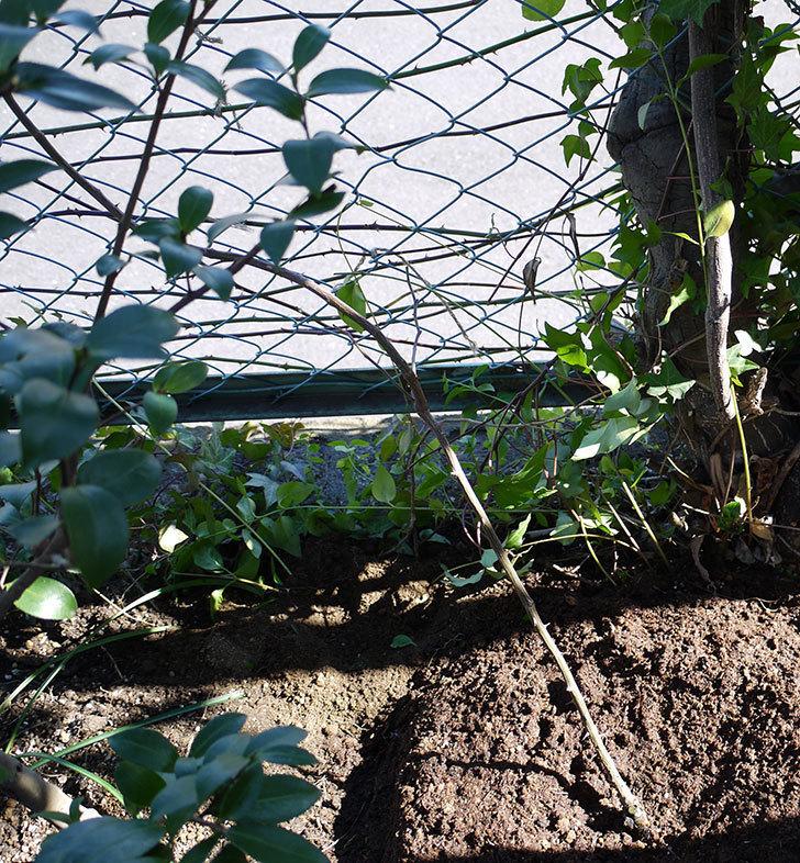 ジンジャー・シラバブ(ツルバラ)の鉢植えを地植えして誘引した。2017年-16.jpg