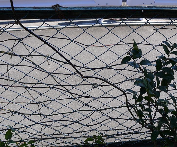 ジンジャー・シラバブ(ツルバラ)の鉢植えを地植えして誘引した。2017年-17.jpg