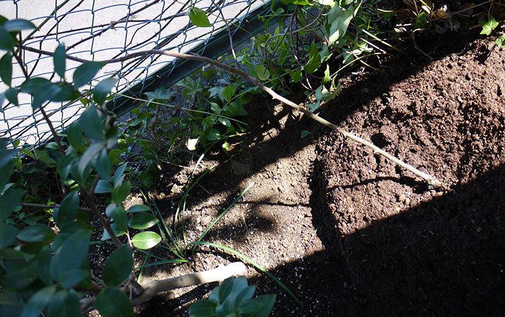 ジンジャー・シラバブ(ツルバラ)の鉢植えを地植えして誘引した。2017年-18.jpg