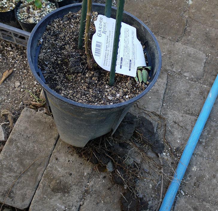 ジンジャー・シラバブ(ツルバラ)の鉢植えを地植えして誘引した。2017年-9.jpg