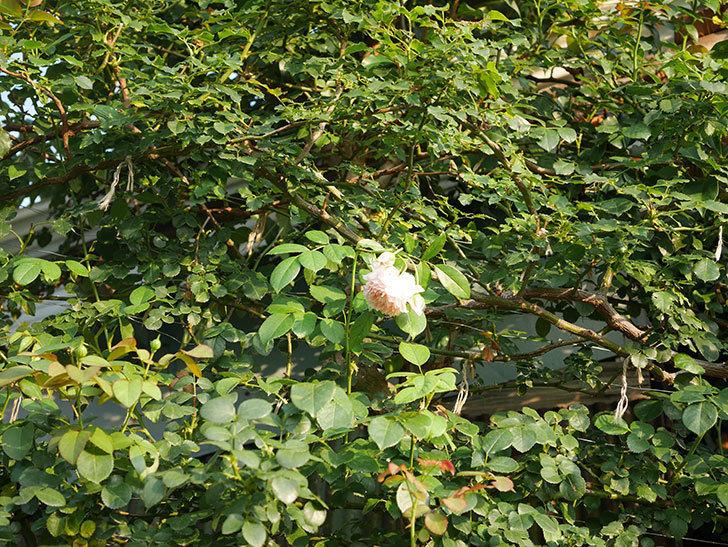 ジンジャー・シラバブ(Ginger Syllabub)の夏花が咲いた。ツルバラ。2020年-001.jpg