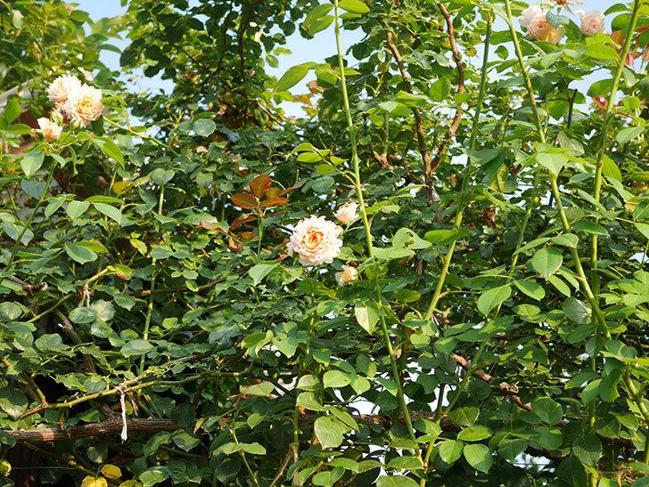 ジンジャー・シラバブ(Ginger Syllabub)の夏花が咲いた。ツルバラ。2020年-002.jpg