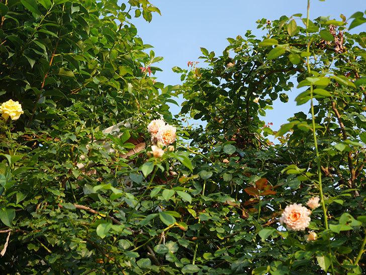ジンジャー・シラバブ(Ginger Syllabub)の夏花が咲いた。ツルバラ。2020年-003.jpg