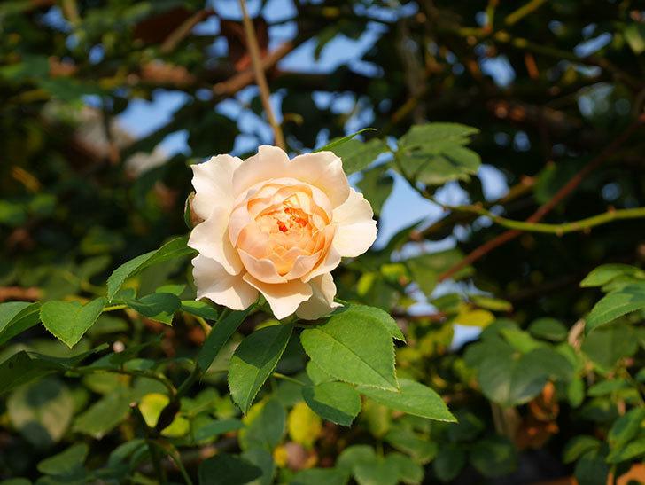 ジンジャー・シラバブ(Ginger Syllabub)の夏花が咲いた。ツルバラ。2020年-004.jpg