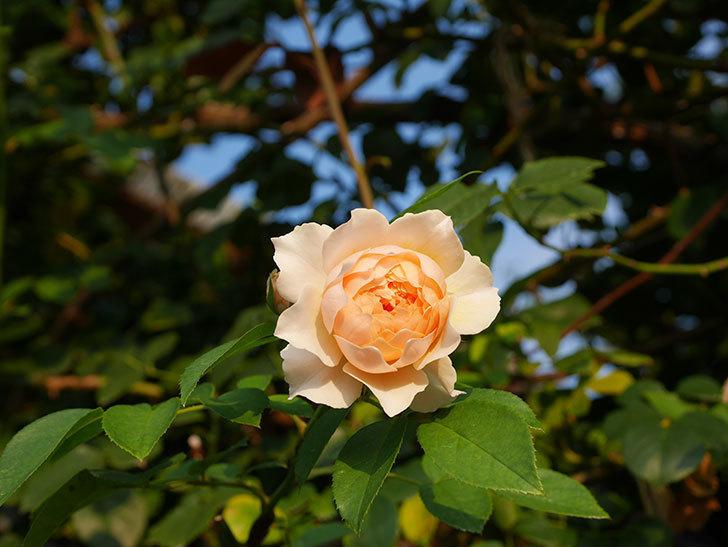 ジンジャー・シラバブ(Ginger Syllabub)の夏花が咲いた。ツルバラ。2020年-005.jpg