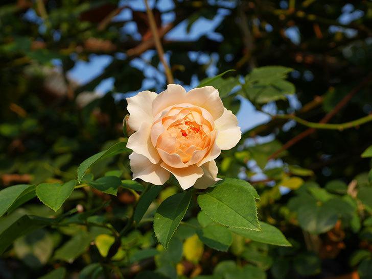 ジンジャー・シラバブ(Ginger Syllabub)の夏花が咲いた。ツルバラ。2020年-006.jpg