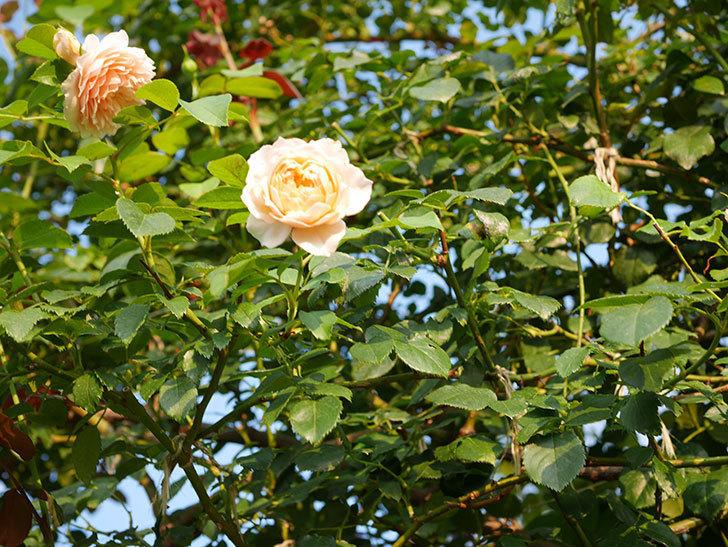 ジンジャー・シラバブ(Ginger Syllabub)の夏花が咲いた。ツルバラ。2020年-007.jpg