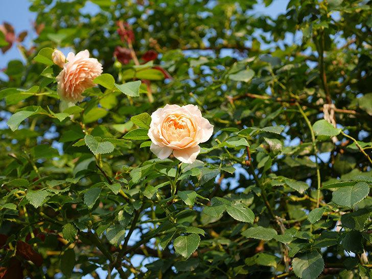 ジンジャー・シラバブ(Ginger Syllabub)の夏花が咲いた。ツルバラ。2020年-008.jpg
