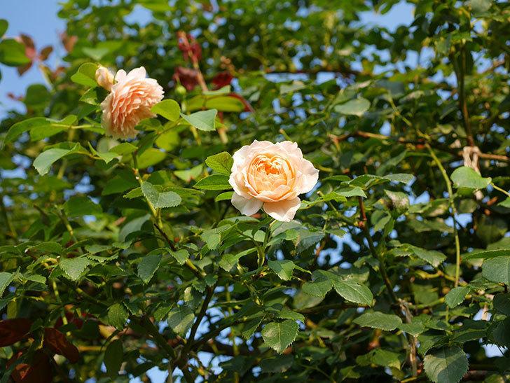 ジンジャー・シラバブ(Ginger Syllabub)の夏花が咲いた。ツルバラ。2020年-009.jpg