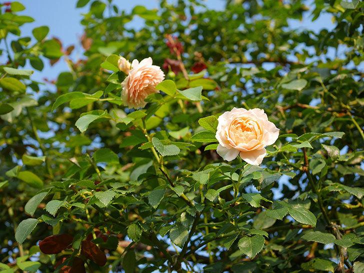 ジンジャー・シラバブ(Ginger Syllabub)の夏花が咲いた。ツルバラ。2020年-010.jpg
