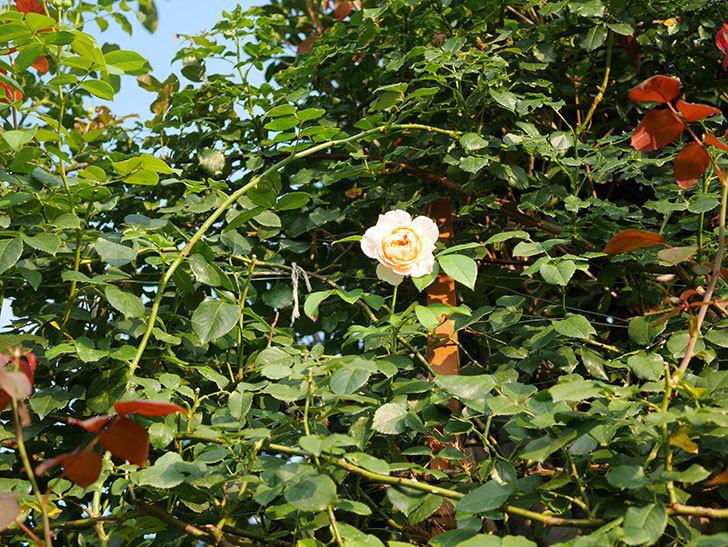 ジンジャー・シラバブ(Ginger Syllabub)の夏花が咲いた。ツルバラ。2020年-011.jpg