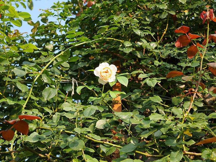 ジンジャー・シラバブ(Ginger Syllabub)の夏花が咲いた。ツルバラ。2020年-012.jpg