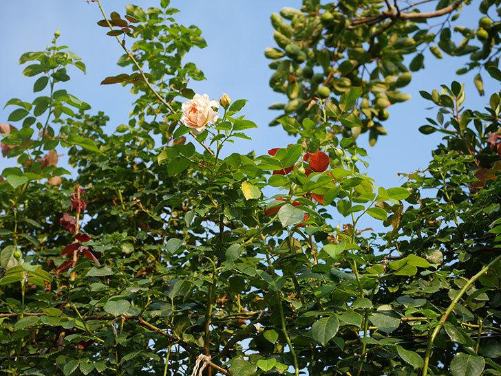 ジンジャー・シラバブ(Ginger Syllabub)の夏花が咲いた。ツルバラ。2020年-013.jpg