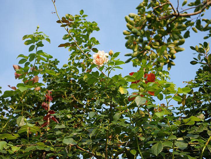 ジンジャー・シラバブ(Ginger Syllabub)の夏花が咲いた。ツルバラ。2020年-014.jpg
