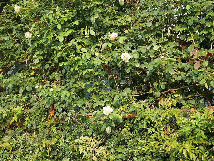 ジンジャー・シラバブ(Ginger Syllabub)の夏花が咲いた。ツルバラ。2020年-015.jpg