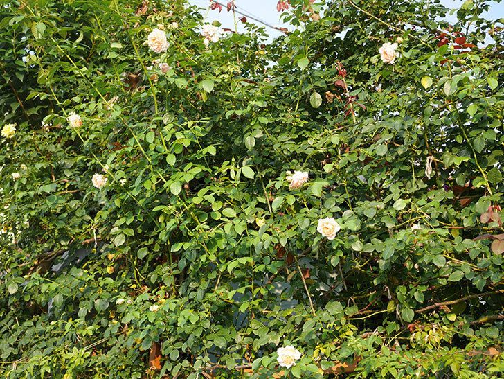 ジンジャー・シラバブ(Ginger Syllabub)の夏花が咲いた。ツルバラ。2020年-016.jpg