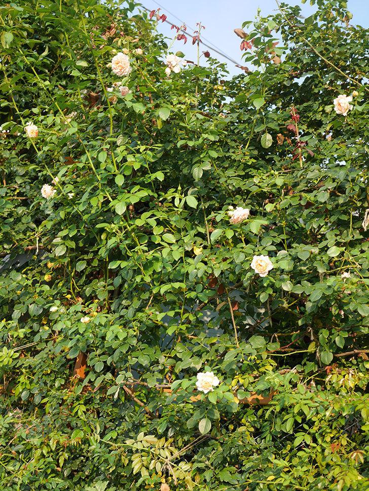 ジンジャー・シラバブ(Ginger Syllabub)の夏花が咲いた。ツルバラ。2020年-017.jpg
