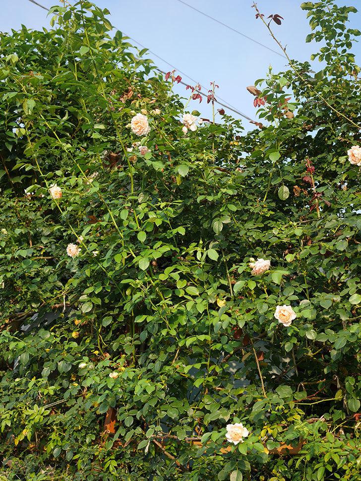 ジンジャー・シラバブ(Ginger Syllabub)の夏花が咲いた。ツルバラ。2020年-018.jpg