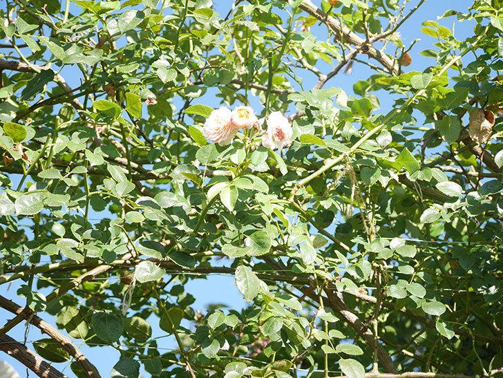 ジンジャー・シラバブ(Ginger Syllabub)の夏花が咲いた。ツルバラ。2021年-001.jpg