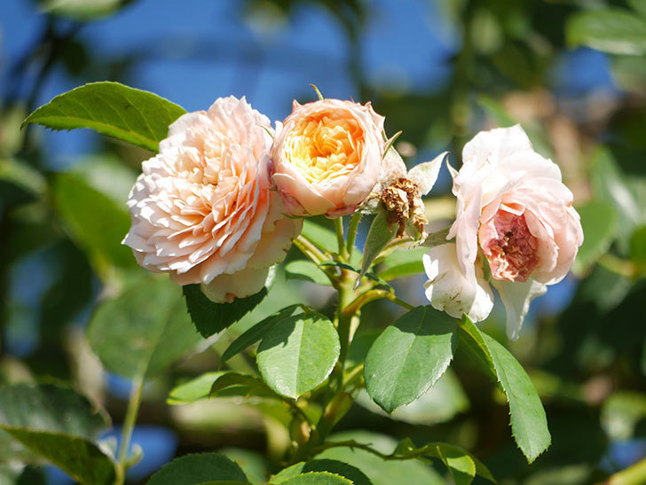 ジンジャー・シラバブ(Ginger Syllabub)の夏花が咲いた。ツルバラ。2021年-002.jpg