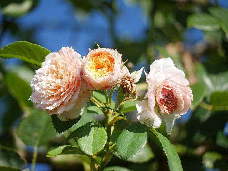 ジンジャー・シラバブ(Ginger Syllabub)の夏花が咲いた。ツルバラ。2021年-003.jpg