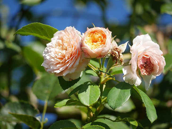 ジンジャー・シラバブ(Ginger Syllabub)の夏花が咲いた。ツルバラ。2021年-004.jpg