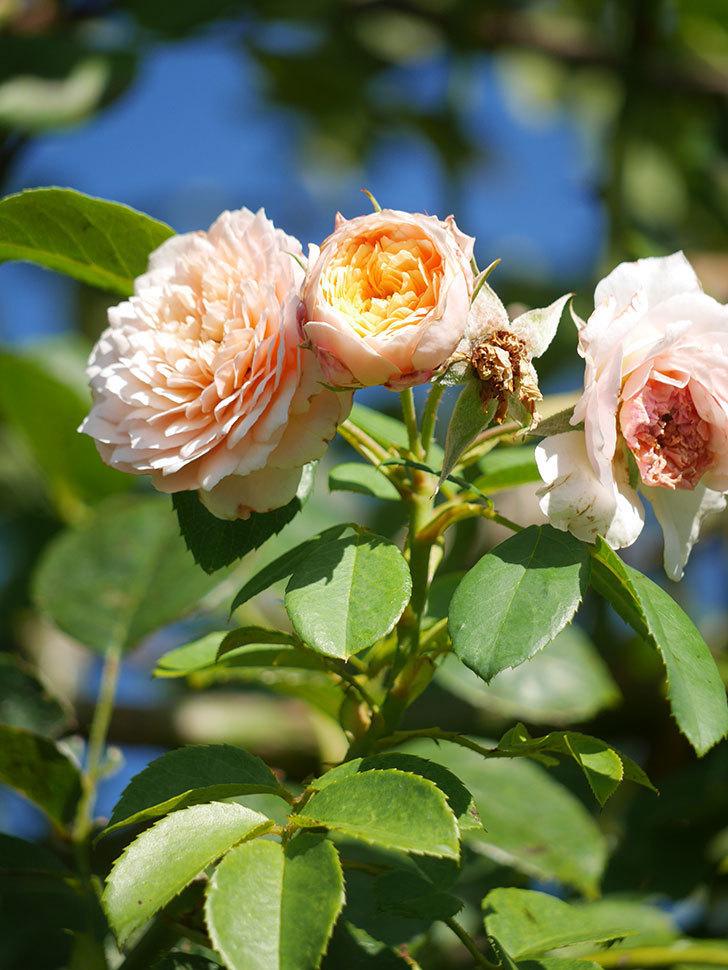 ジンジャー・シラバブ(Ginger Syllabub)の夏花が咲いた。ツルバラ。2021年-005.jpg