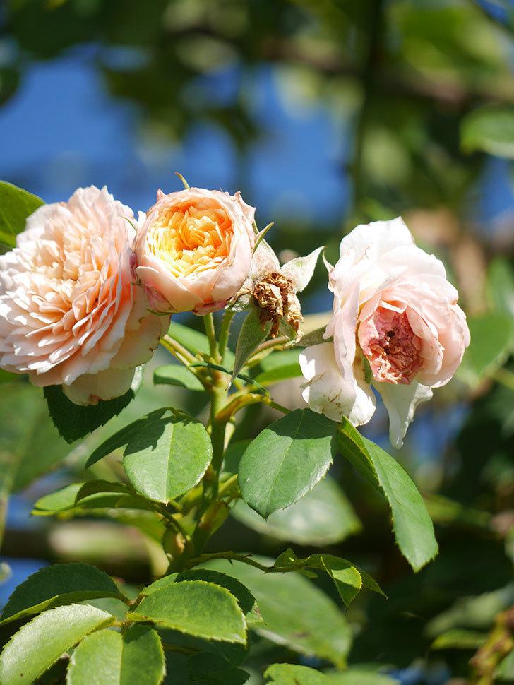 ジンジャー・シラバブ(Ginger Syllabub)の夏花が咲いた。ツルバラ。2021年-006.jpg