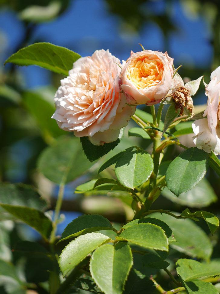 ジンジャー・シラバブ(Ginger Syllabub)の夏花が咲いた。ツルバラ。2021年-008.jpg