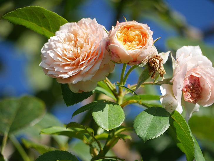 ジンジャー・シラバブ(Ginger Syllabub)の夏花が咲いた。ツルバラ。2021年-009.jpg