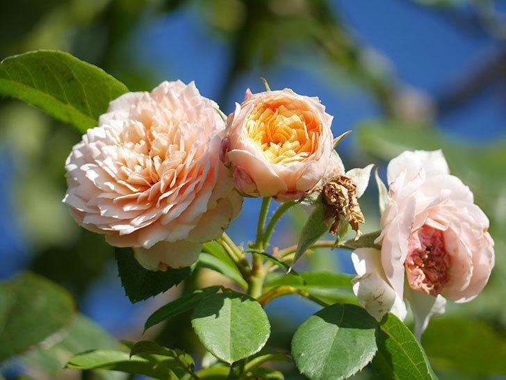 ジンジャー・シラバブ(Ginger Syllabub)の夏花が咲いた。ツルバラ。2021年-010.jpg
