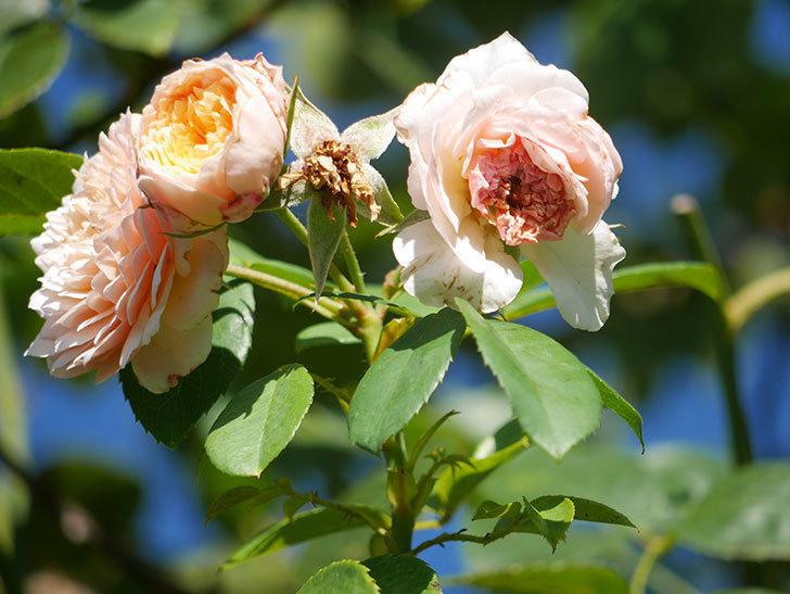 ジンジャー・シラバブ(Ginger Syllabub)の夏花が咲いた。ツルバラ。2021年-011.jpg