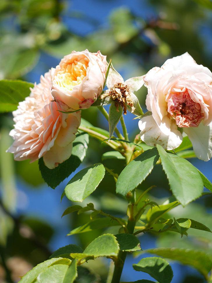 ジンジャー・シラバブ(Ginger Syllabub)の夏花が咲いた。ツルバラ。2021年-012.jpg