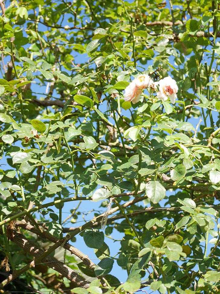 ジンジャー・シラバブ(Ginger Syllabub)の夏花が咲いた。ツルバラ。2021年-013.jpg