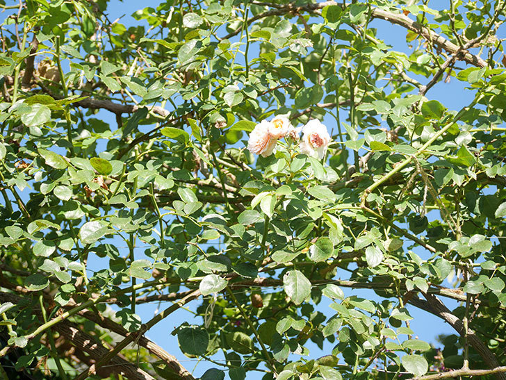 ジンジャー・シラバブ(Ginger Syllabub)の夏花が咲いた。ツルバラ。2021年-014.jpg