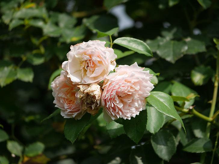 ジンジャー・シラバブ(Ginger Syllabub)の夏花が増えてきた。ツルバラ。2020年-001.jpg